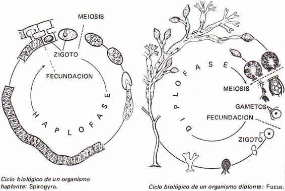 Ciclo De La Salamandra
