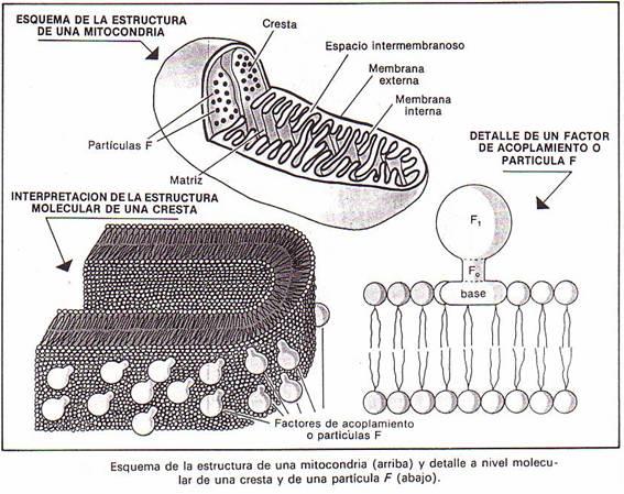 ORGANIZACIÓN DE LA CÉLULA EUCARIÓTICA
